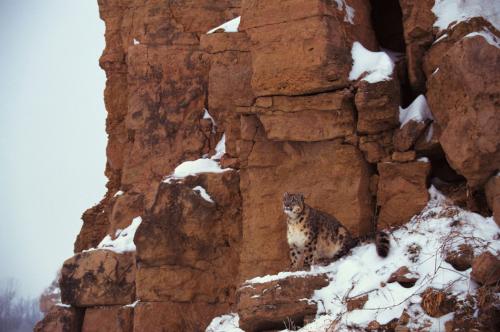 Schneeleopard © Jupiterimages/Photos.com/Thinkstock