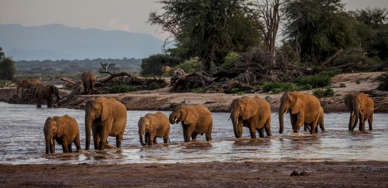 Eine Elefantenfamilie durchquert bei Sonnenuntergang den Uaso Njiro im Samburu. © Willi Dolder