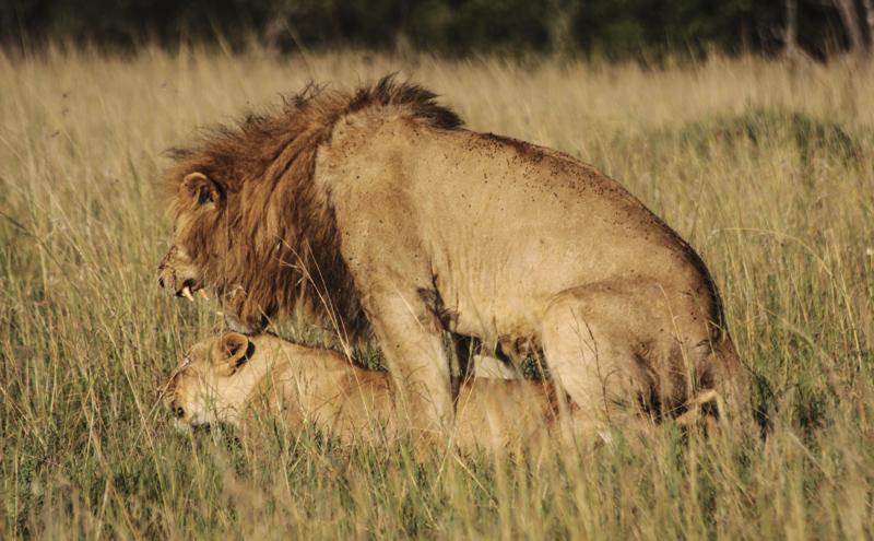 Löwenpaarung, Massai Mara Game Reserve. © Willi Dolder