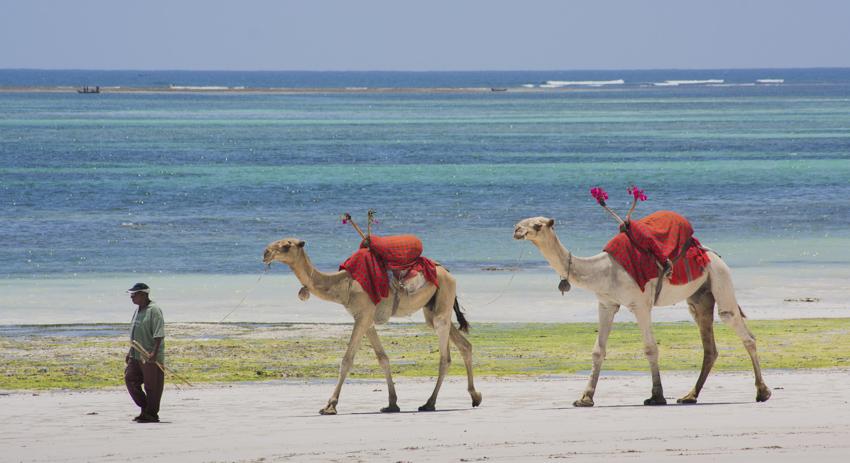 Reitkamele an der Südküste, eine der kleineren Touristen-Attraktionen. © Willi Dolder