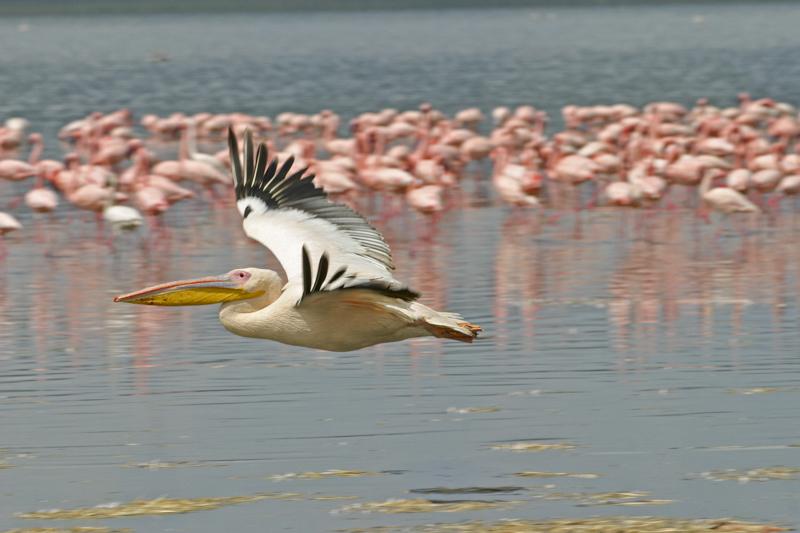 Zwar leben am Nakurusee hunderte und tausende von Rosapelikanen und Flamingos, aber sie brüten hier nicht und halten sich deshalb nicht das ganze Jahr am See auf. © Willi Dolder