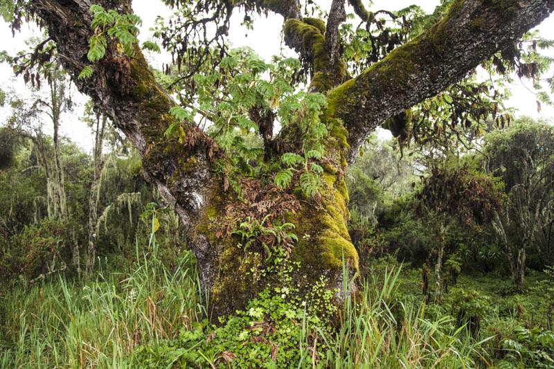 Hageniabaum in den Aberdares auf ca, 3000 m ü.M. © Willi Dolder