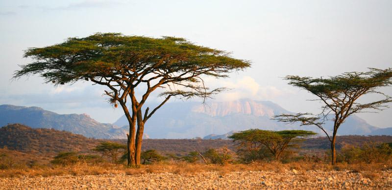 Schirmakazien im Buffalo Springs Reservat. Ol Donyo Sapuk, der heilige Berg der Samburus, bildet den Hintergrund. © Willi Dolder