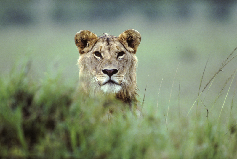 Junger Mähnenlöwe hält nach Beute Ausschau. © Willi Dolder
