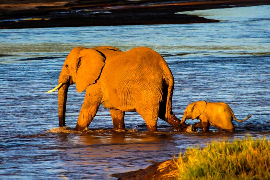 Eine Elefantenkuh durchquert kurz vor Sonnenuntergang den Uaso Nyiro. © Willi Dolder