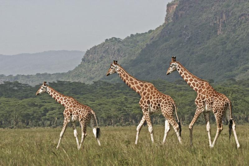 Im Nakuru Nationalpark lebt eine gute Population der stark gefährdeten Rothschilds Giraffe. © Willi Dolder