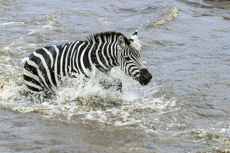 Ein Zebra durchquert den Marafluss. © Willi Dolder