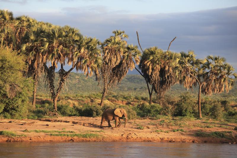 Doumpalmen am Ufer des Uaso Nyiro. Der Fluss bildet die Grenze zwischen dem Buffalo Springs und dem Samburu Reservat.  © Willi Dolder