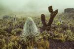 Am Mount Kenya in fast 4000 m Höhe. Im Vordergrund eine Riesenlobelie. © Willi Dolder